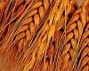 В Индии туристам предложат перемолоть пшеницу