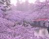 Фестиваль цветения сакуры в Японии пройдет в апреле