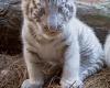 В зоопарке Буэнос-Айресе родились три белых тигренка