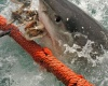 В Австралии поймали более 170 акул