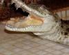 Аллигаторы атакуют местных жителей