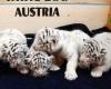 Пять белых тигрят родились в Кернхофском зоопарке Австрии