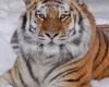 Индия: охота на тигра-людоеда продолжается