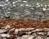 Сотни тысяч погибших рыб в реке Исипинго