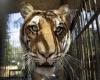 В Оклахоме на женщину напал  тигр