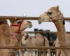 Конкурс красоты верблюдов – фестиваль Аль Dhafra