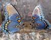 Мексика с радостью встречает любителей бабочек