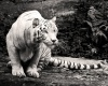 Туризм представляет угрозу королевским бенгальским тиграм