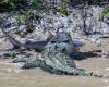 Акула и крокодил – кто сильней?