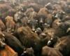 В храме  Gadhimai продолжаются самые массовые в мире  жертвоприношения животных