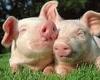 В Северной Ирландии тысячи свиней сгорели заживо