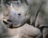 Белые носороги - на грани вымирания