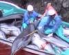 Убийство дельфинов в Японии