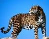 Ягуары на грани исчезновения