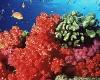 В Пуэрто-Рико выращивают кораллы